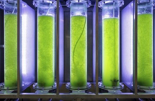 Photobioreactor in lab algae fuel biofuel industry. Algae fuel o